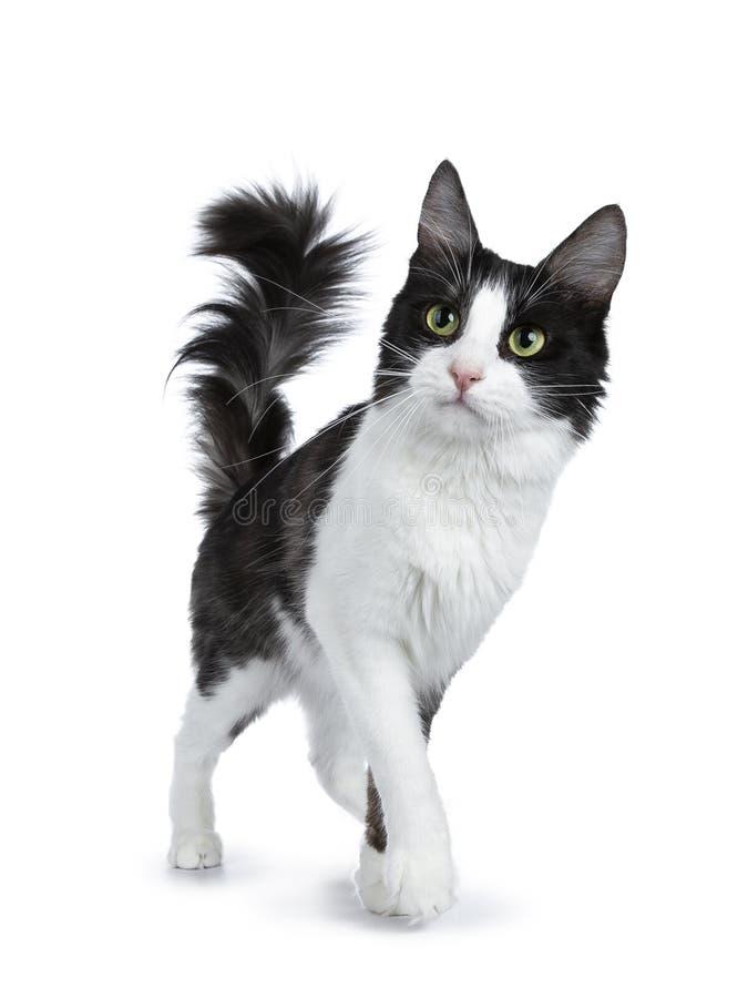 Leuke zwarte rook met het witte Turkse Angora kat lopen geïsoleerd op witte achtergrond met staart in de lucht en het kijken aan  royalty-vrije stock foto's