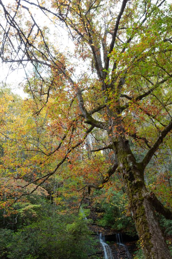 Leunende grote oude boom met mos en de herfstbladeren met waterval op de achtergrond, Great Smoky Mountains royalty-vrije stock afbeeldingen