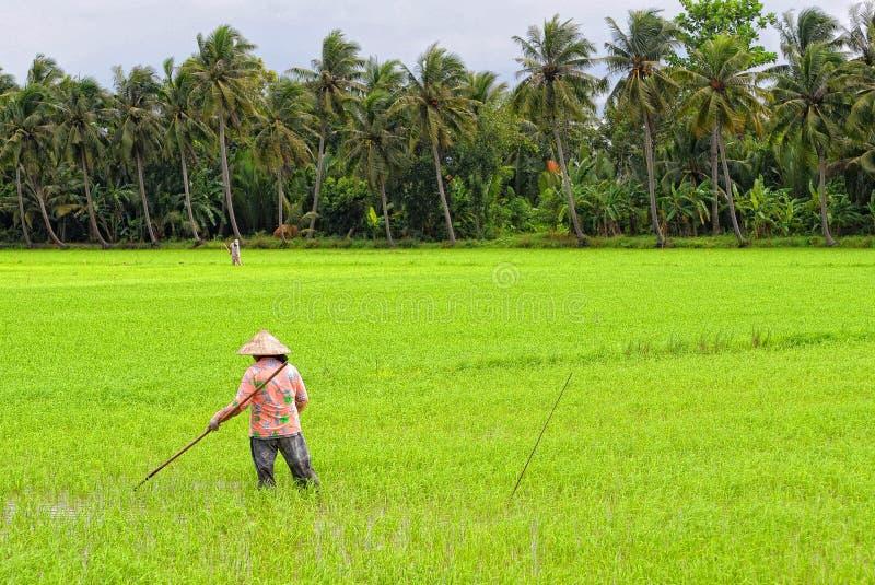 Leute arbeiten an Reisfeld an Hong Ngu-Stadt in Dongthap, Vietnam stockfotografie