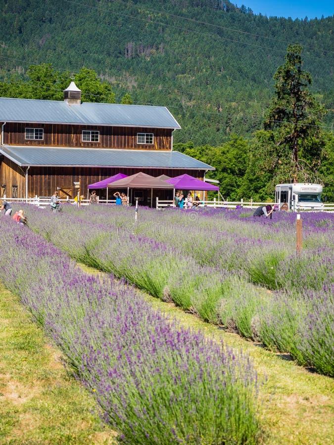 Leute, die Lavendel am Bauernhof auswählen lizenzfreie stockbilder