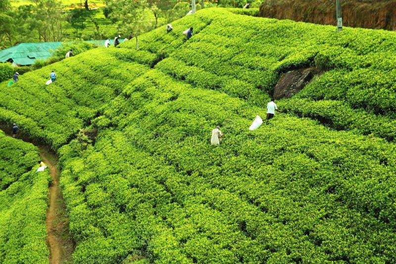 Leute, die Tee auf Plantage auswählen lizenzfreies stockbild