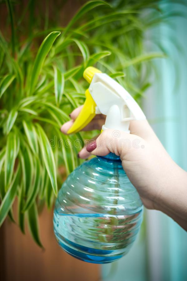 Leute, Gartenarbeit, Blume pflanzend und Berufkonzept - nah oben, Hände der Frau oder Gärtnerhände, die Haus sprühen lizenzfreie stockfotografie