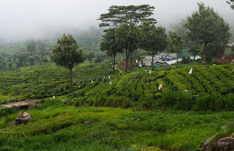 Leute heben die Leben des grünen Tees auf dem Nebelteegebiet auf stockfotos