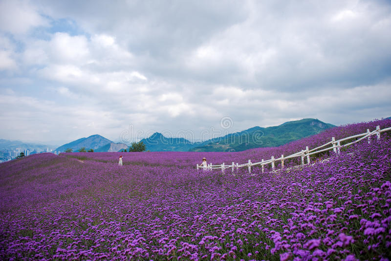 Leute im Lavendel-Feld-Park lizenzfreies stockfoto