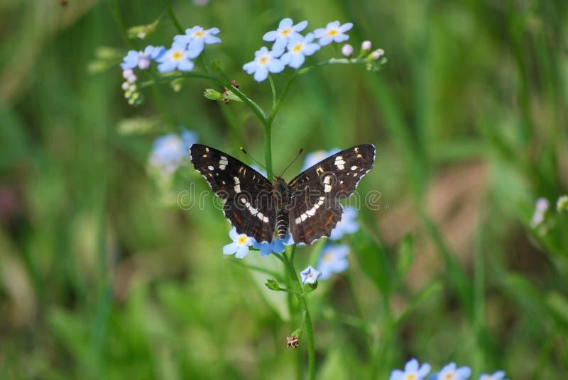 Levana d'Araschnia de papillon en second lieu photographie stock libre de droits