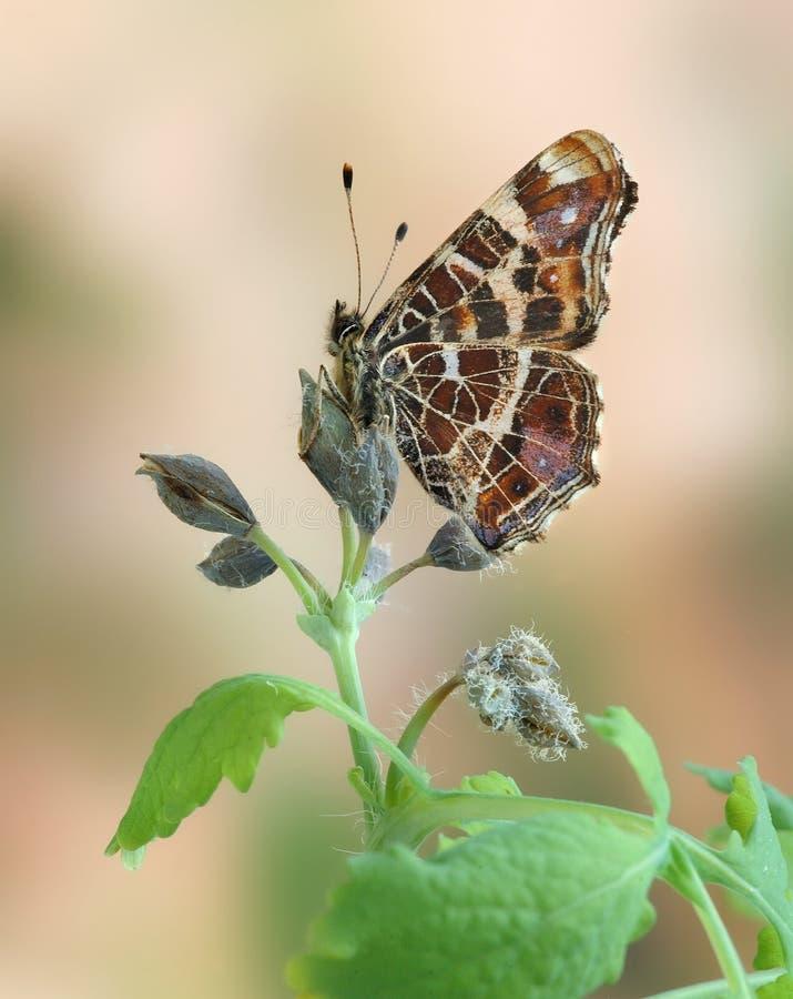 Levana van Araschnia royalty-vrije stock fotografie