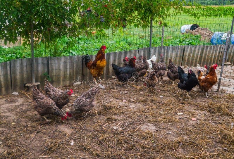 Levande hemlagade hönor på trädgården i byn arkivbilder