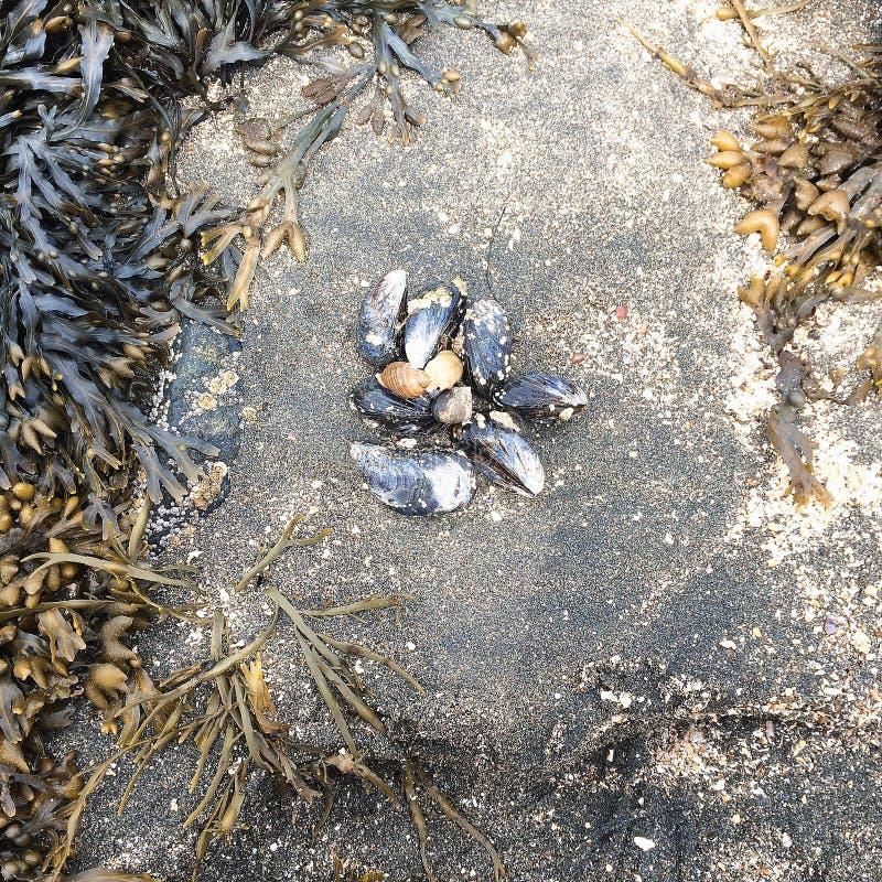 Levande musslor, sand och havsväxt från havsidan royaltyfri fotografi