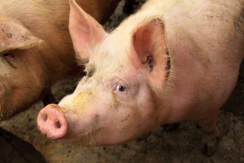 Levande svin i en lantgård arkivfoto