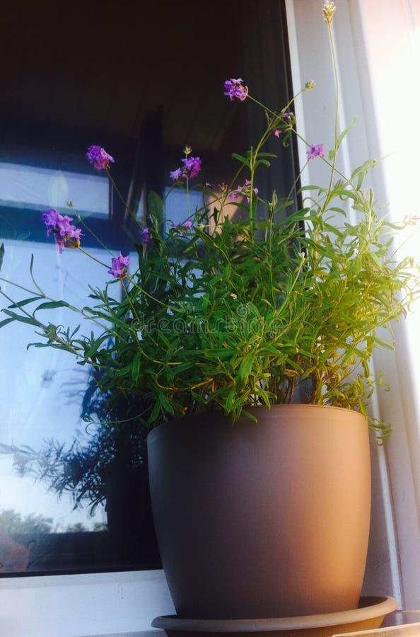 Levander στο windowsill και στοκ φωτογραφία με δικαίωμα ελεύθερης χρήσης