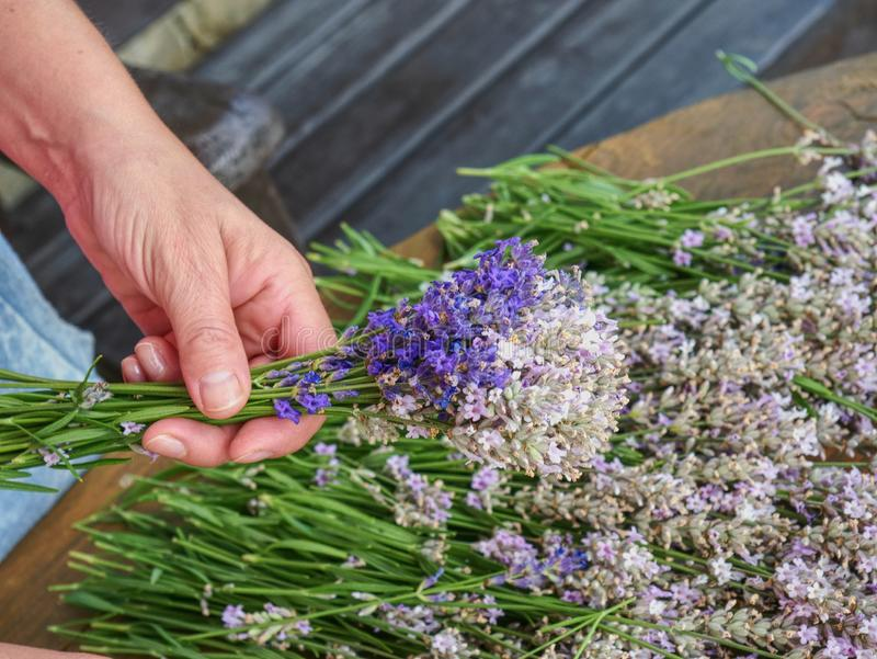 Levander bouquet . Blooming healing lavender plants. In summer day ready to pick. Purple herbal rows on agriculture farm in countryside stock photos