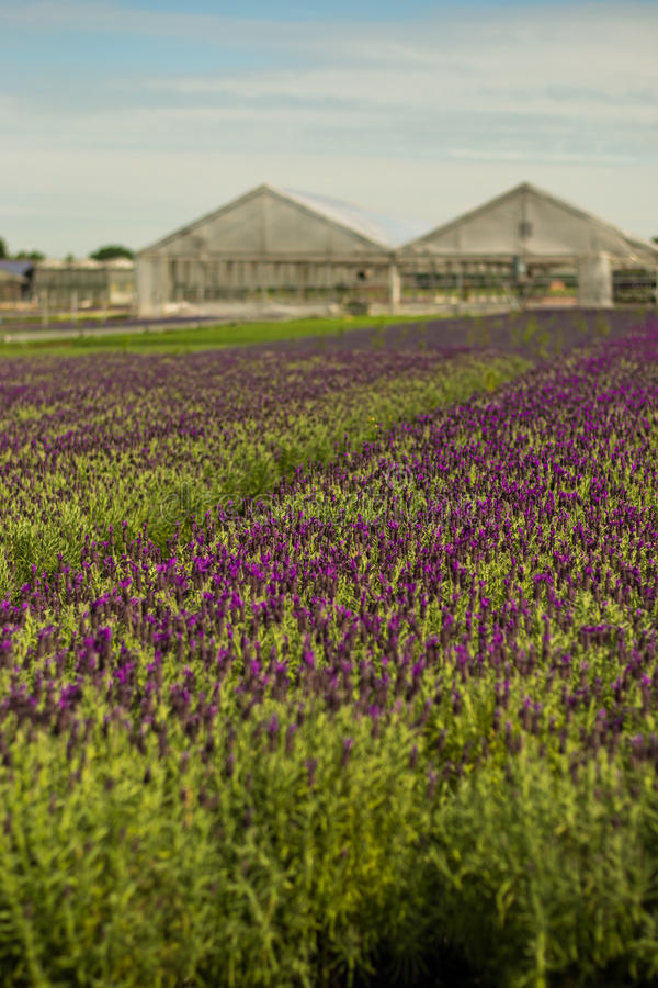 Levander field. Field full of levander flower violet color on top and green on bottom in levander farm royalty free stock photos