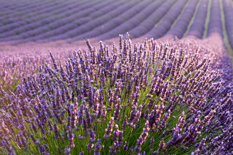 Levander field. During sunrise in Provence royalty free stock photos
