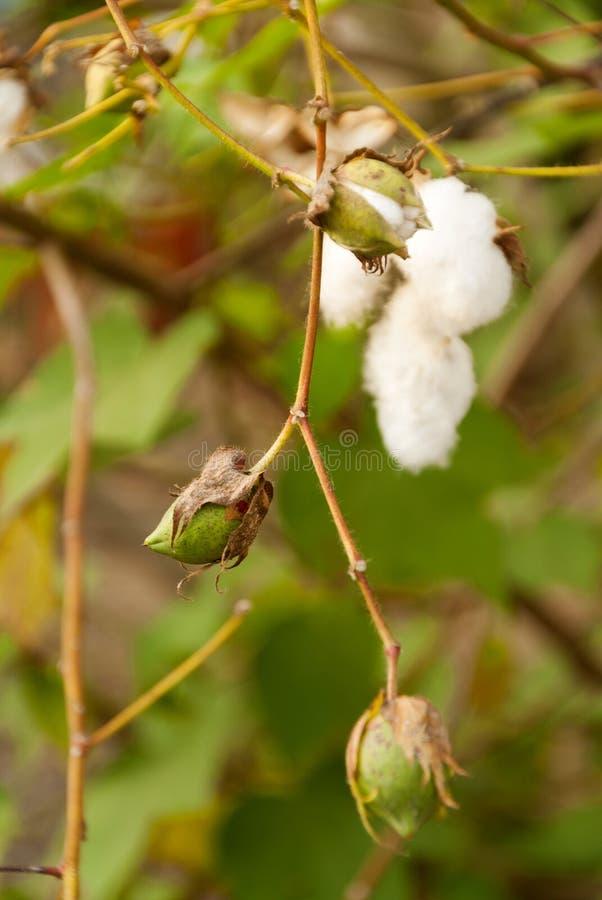 Levant Cotton in Guatemlaa. Gossypiumherbaceum. stock photography