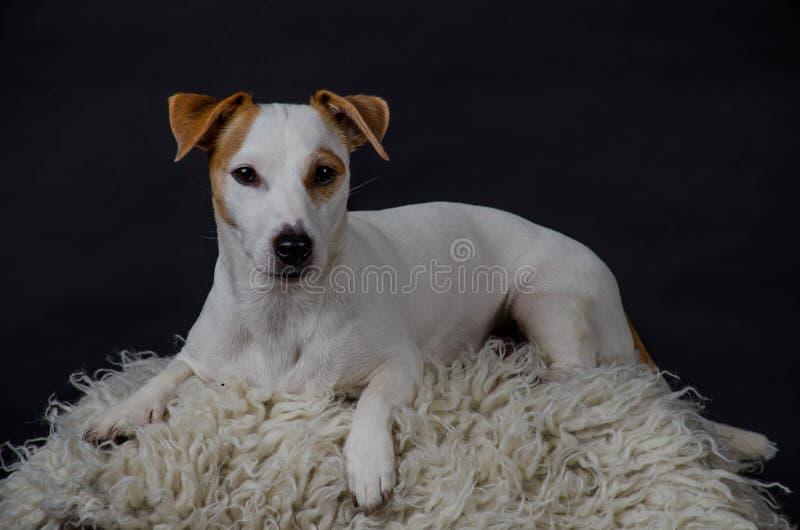 Levantamento branco do cão imagem de stock