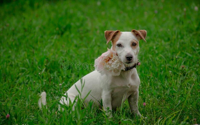 Levantamento branco do cão fotos de stock royalty free