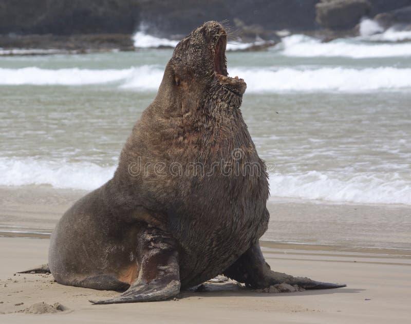 Levantamento do leão-marinho imagem de stock