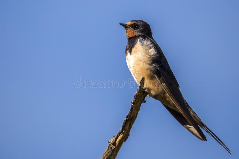 Levantamento do pássaro fotografia de stock