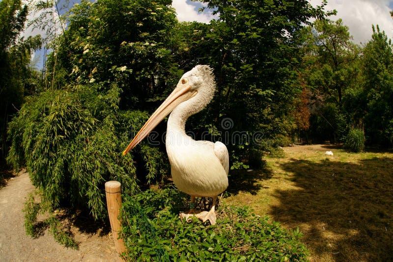 Levantamento do pelicano fotos de stock royalty free