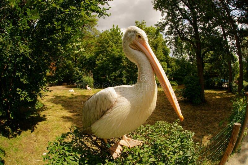 Levantamento do pelicano foto de stock royalty free