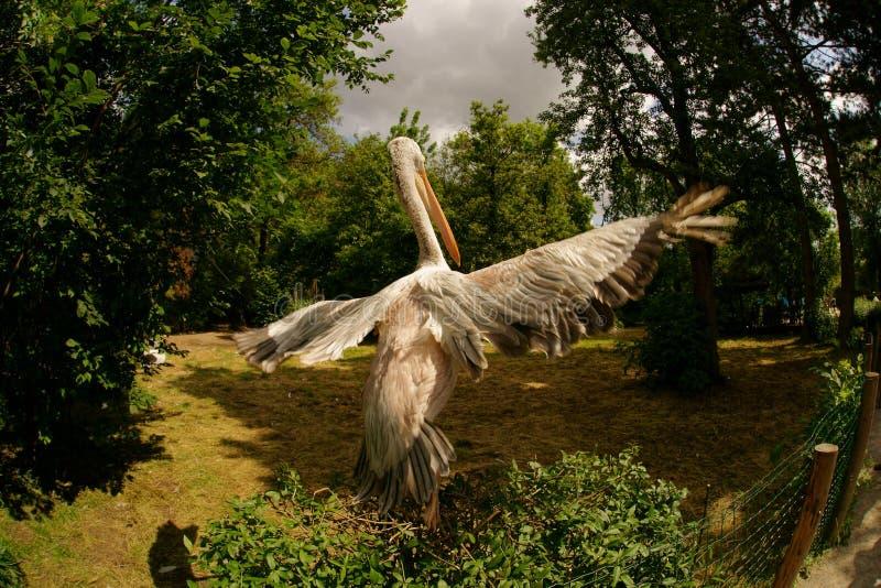 Levantamento do pelicano foto de stock