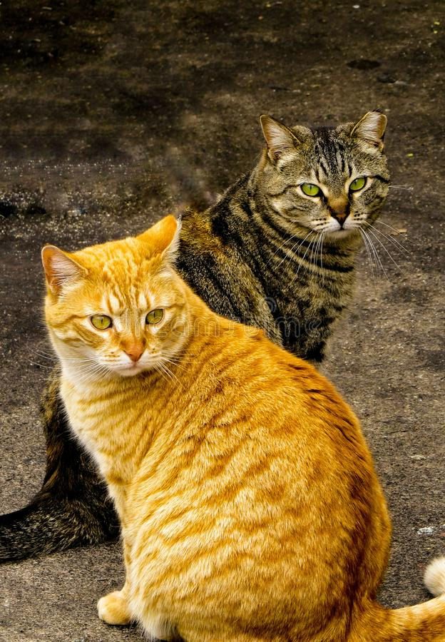 Levantamento dois Tabby Cats Male And Female imagem de stock royalty free