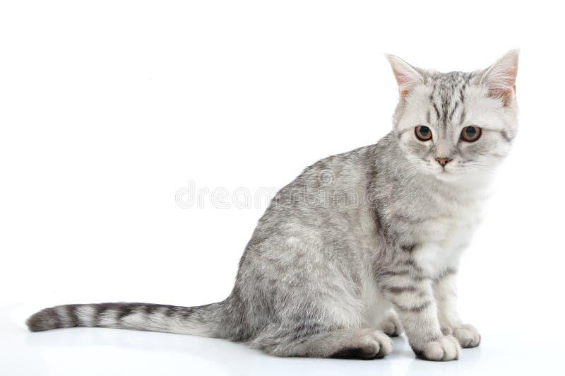 Levantamento escocês do gatinho do branco cinzento imagem de stock royalty free