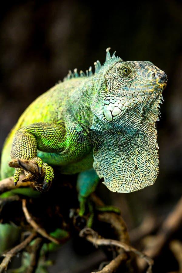 Levantamento masculino da iguana fotografia de stock