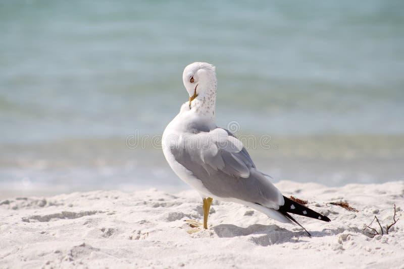 Levantando a gaivota imagem de stock
