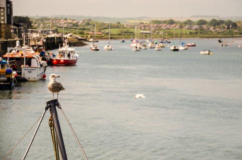 Levantando a gaivota em Northumberland fotos de stock royalty free