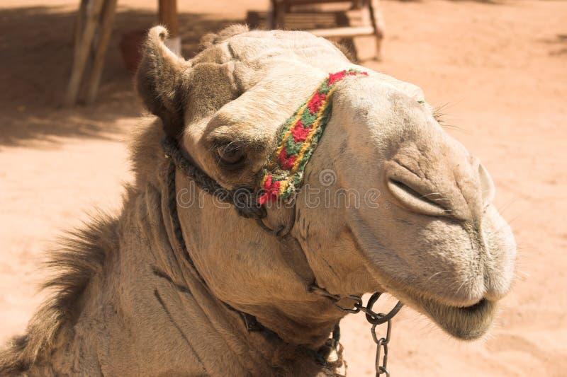Levantando o camelo fotos de stock royalty free