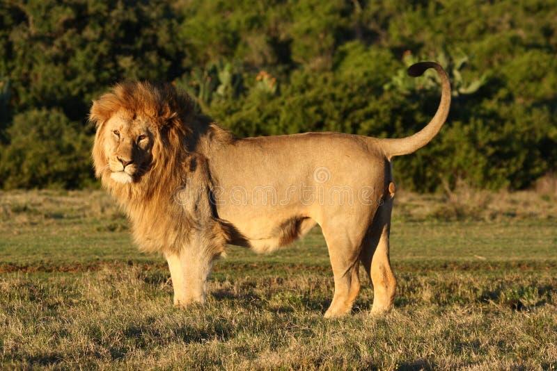 Levantando o leão. foto de stock royalty free