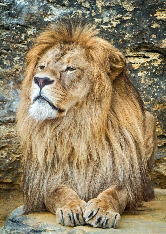 Levantando o leão imagem de stock