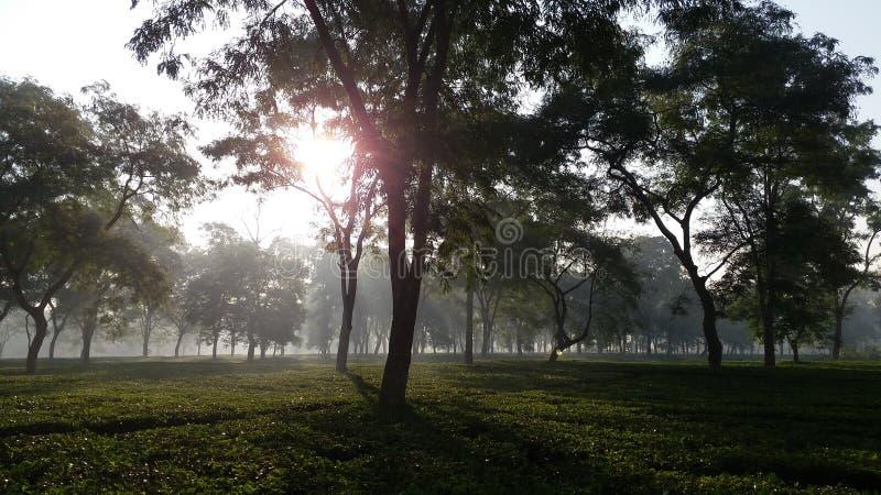 Levantando Sun em um jardim de chá na Índia fotografia de stock royalty free