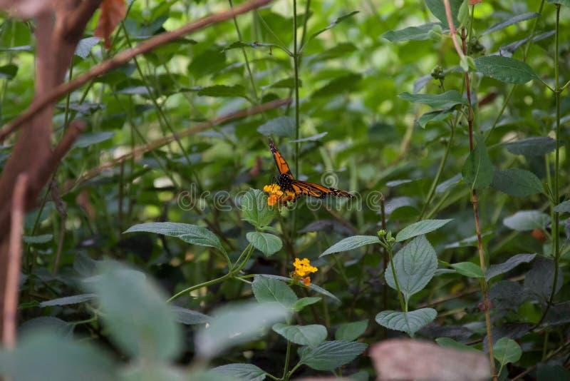 Levantou belamente a borboleta alaranjada e preta; asas abertas em uma flor fotografia de stock royalty free