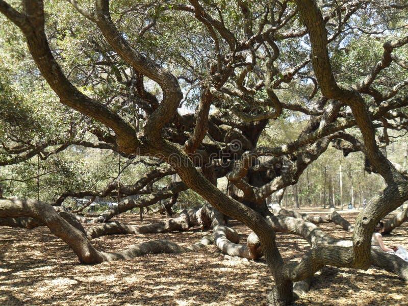 Levende eiken Quercus van Angel Oak Tree Southern virginiana Charleston South Carolina royalty-vrije stock afbeelding