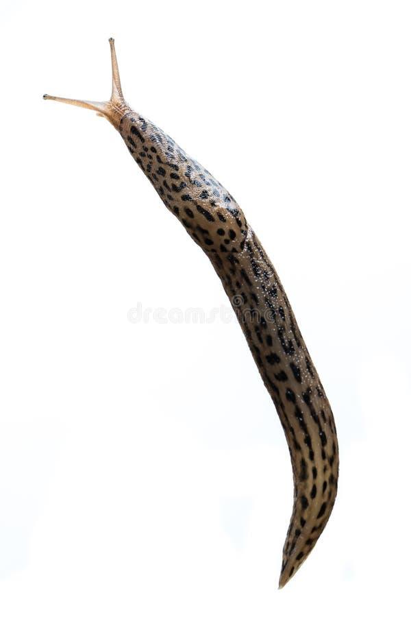 Levende maximus van Limax van de Keelbacknaaktslak geïsoleerd op witte achtergrond - juist aan linkerzijde stock afbeelding