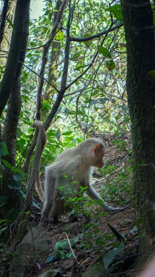 Levendige beelden van het leven van Indische macaques royalty-vrije stock afbeelding
