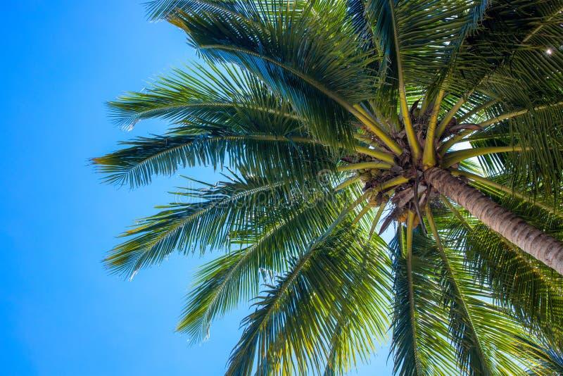 Levendige cocopalm en blauw hemellandschap Palm hoogste mening Groen palmblad natuurlijk ornament Exotische plaats voor vakantie stock afbeeldingen