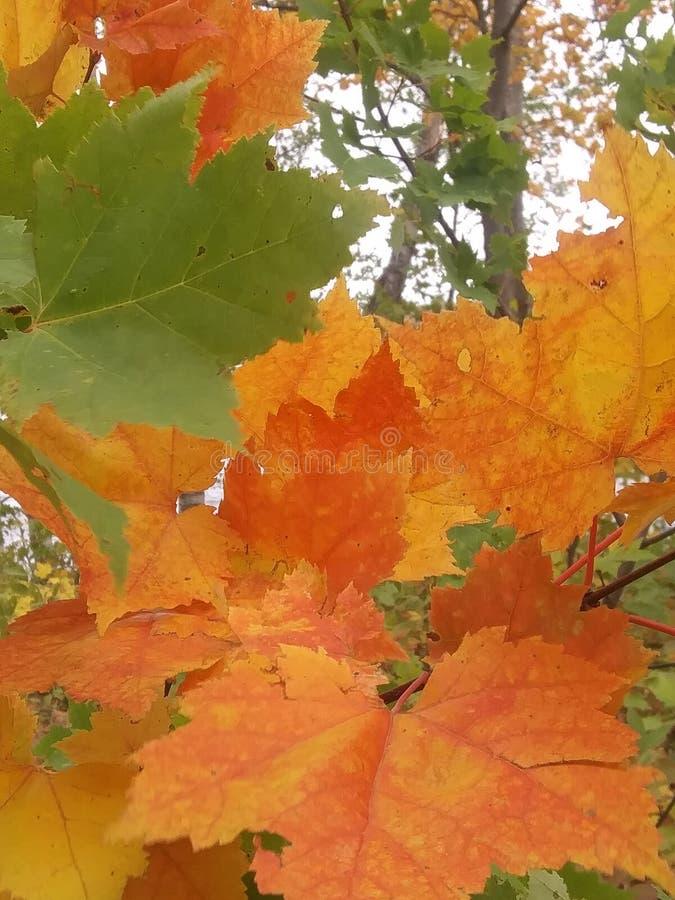 Levendige oranje bladeren staan uit 3 stock afbeeldingen