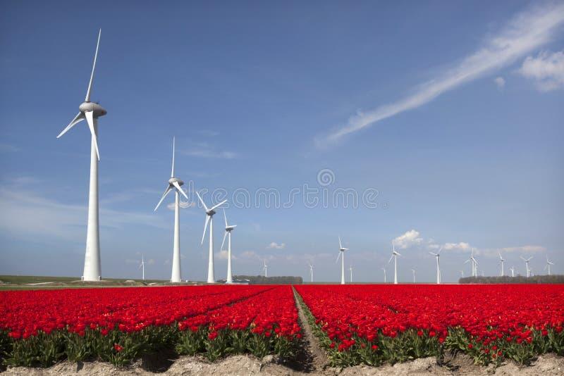 Levendige rode tulpen op het Nederlandse gebied van de noordoostpolderbloem met blauw stock afbeeldingen