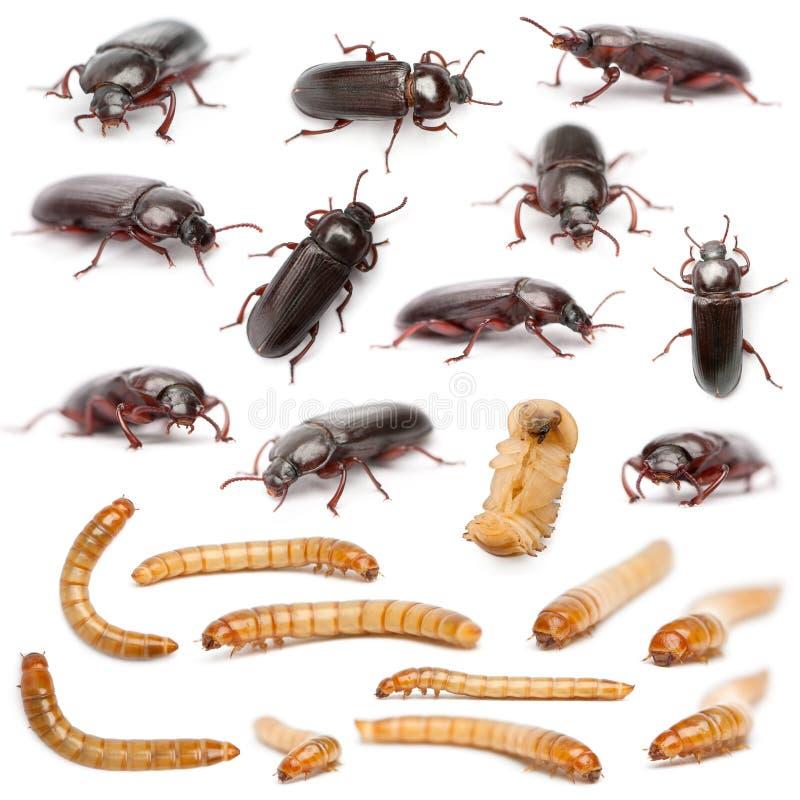 Levenscyclus van een samenstelling van de Meelworm, Tenebrio stock foto
