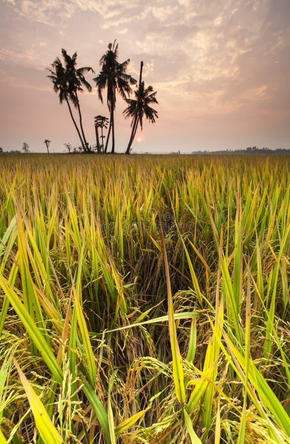 Lever de soleil à la rizière, Sekinchan photos libres de droits