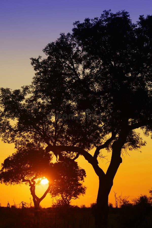 Lever de soleil africain derrière des arbres d'acacia photo libre de droits
