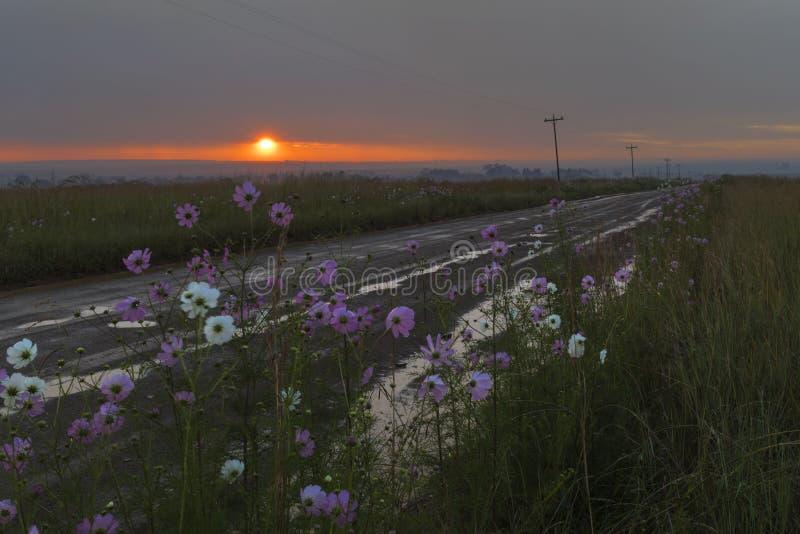 Lever de soleil après la pluie sur des fleurs de cosmos photo stock