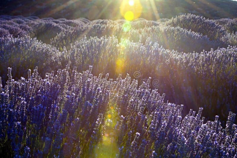 Lever de soleil au-dessus d'un gisement violet de lavande dans Kuyucak, Isparta, Turquie photo stock