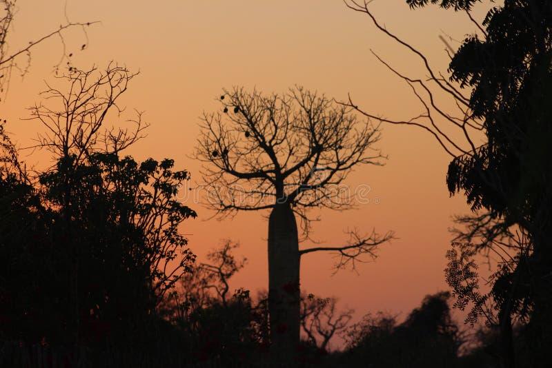 Lever de soleil au-dessus des baobabs dans la forêt épineuse, Ifaty, Madagascar photos libres de droits