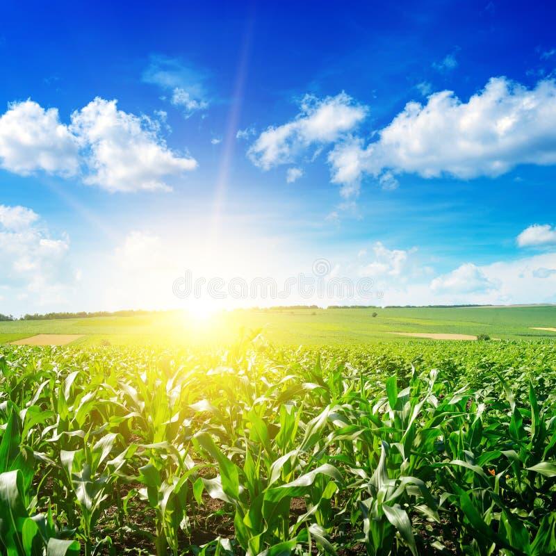 Lever de soleil au-dessus de zone de maïs photo libre de droits