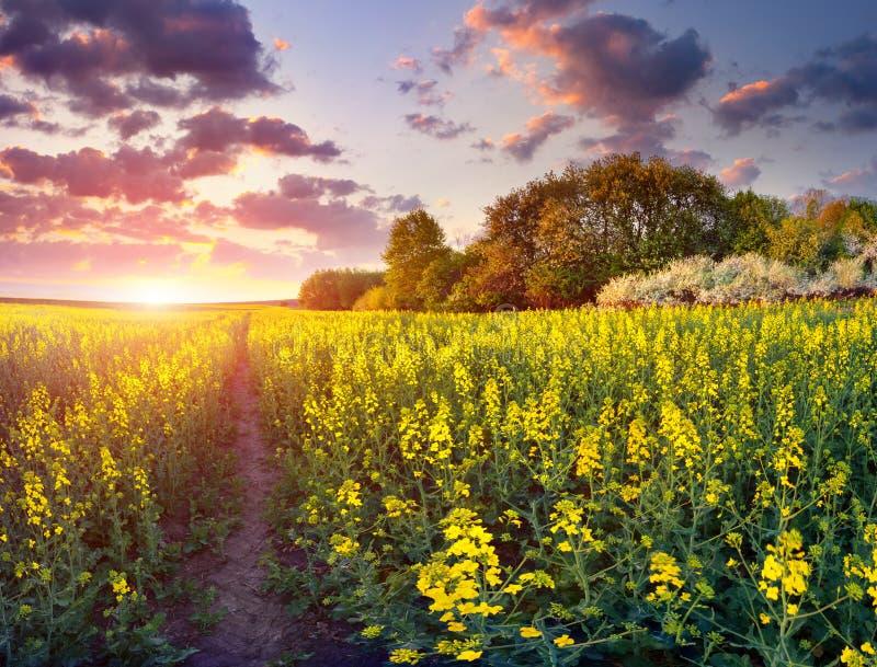 Lever de soleil coloré de ressort dans le domaine des fleurs jaunes image libre de droits