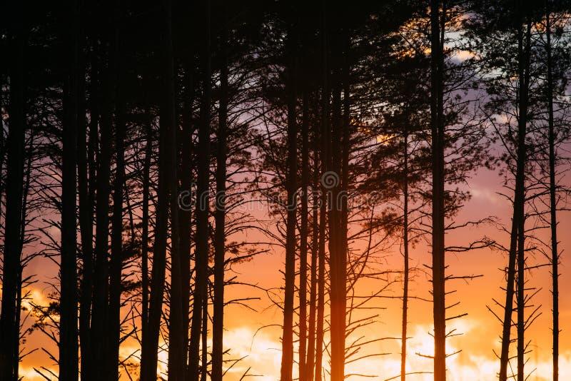 Lever de soleil de coucher du soleil en silhouettes impeccables noires de troncs de Forest Close View Of Dark de pin à la lumière images libres de droits